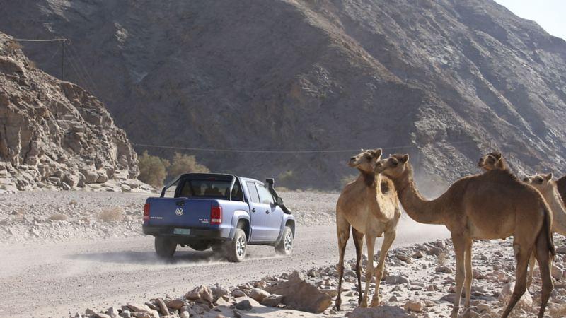 På väg ut i öknen i en Volkswagen Amarok blir vi beundrade av en flock dromedarer