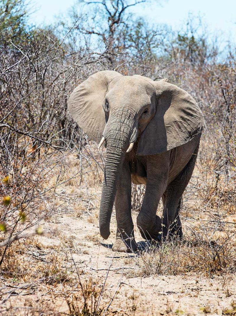 I Sydafrika är djurlivet aldrig långt borta. Här en ellipsvattenbock mitt i maten och en elefant.