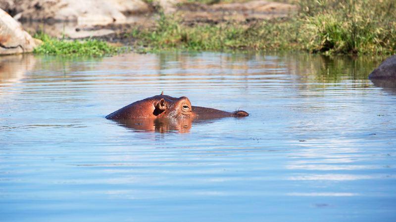 En flodhäst som svalkar sig i hettan