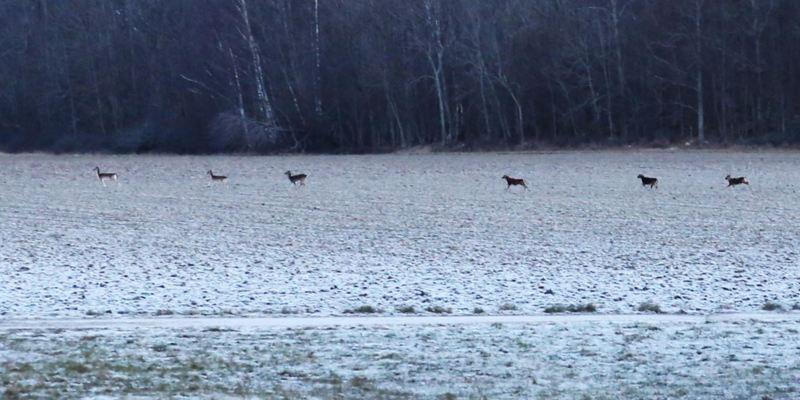Gott om hjortar i Västerås