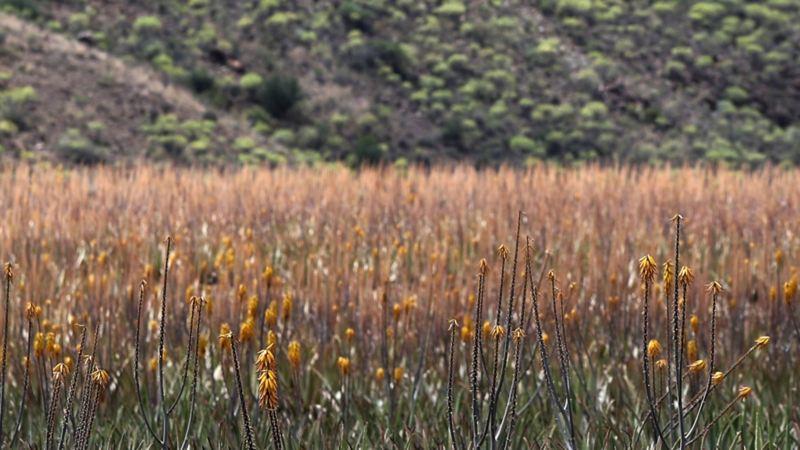 Plantor vid vägkanten på Gran Canaria