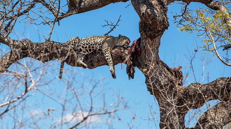 En mätt leopard!