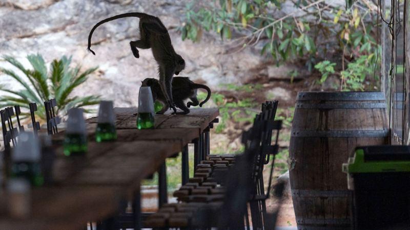 När serveringspersonalen är borta dansar aporna på bordet
