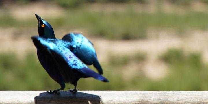 Ein kleiner, blauer Vogel schüttelt sein Gefieder.