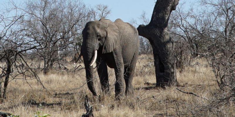 Ein Elefant in der südafrikanischen Graslandschaft.