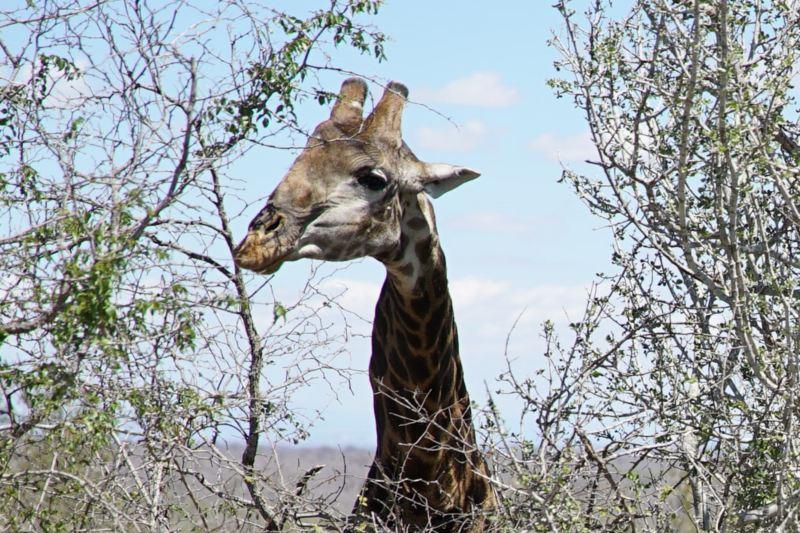 Eine Giraffe schaut über hohe Büsche hinweg.