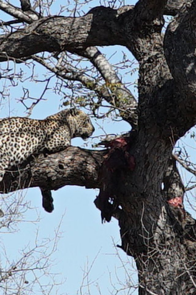 Ein Leopard schläft auf einem Baum.
