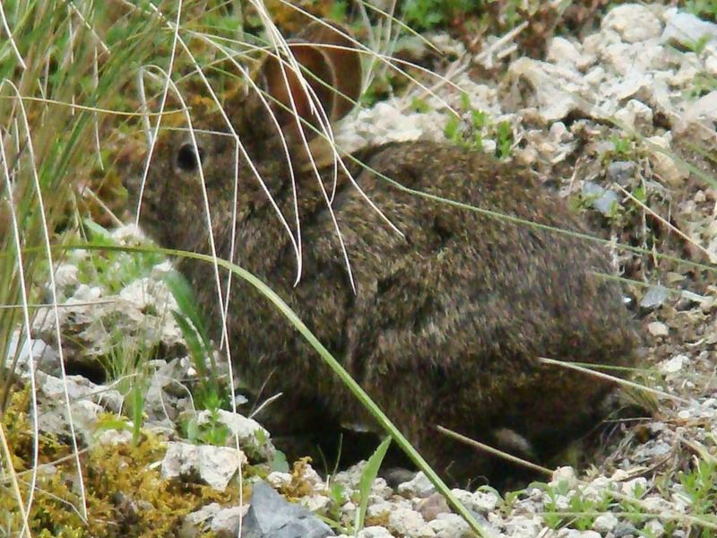 Conejo Teporingo, parte de la fauna protegida con el proyecto de sustentabilidad y conservación ambiental