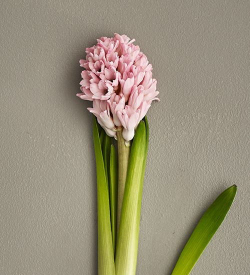 Scented Hyacinths