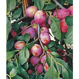 Unwins Victoria Bare Root Plum Tree