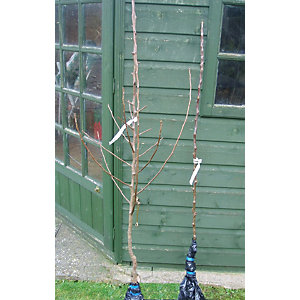 Unwins Queen Cox Bare Root Apple Tree