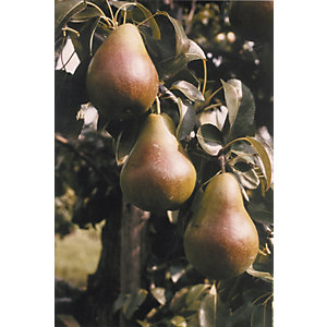 Unwins Burre Hardy Bare Root Pear Tree