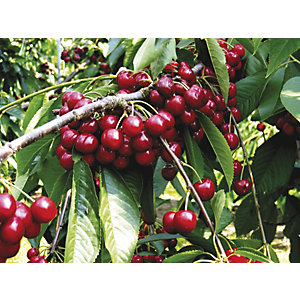 Unwins Summer Sun Bare Root Cherry Tree
