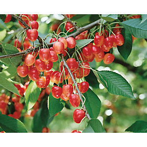 Unwins Duo Bare Root Cherry Tree