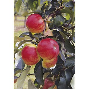 Unwins Duo Bare Root Apple Tree
