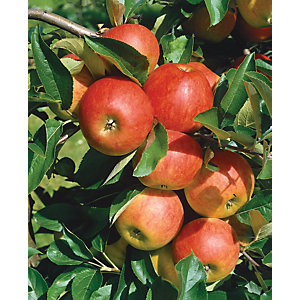 Unwins Patio Elstar Apple Tree