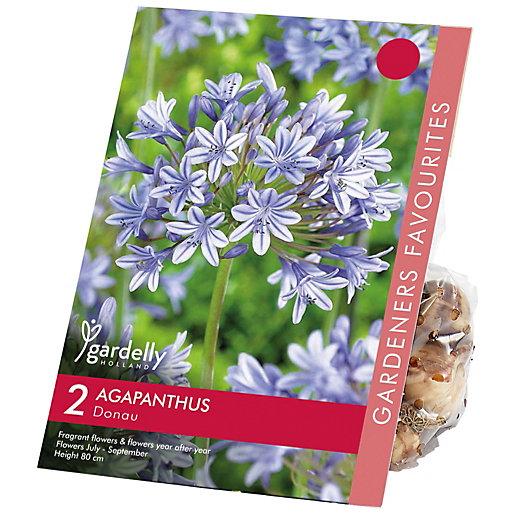 Agapanthus africanus Donau Flower Bulbs