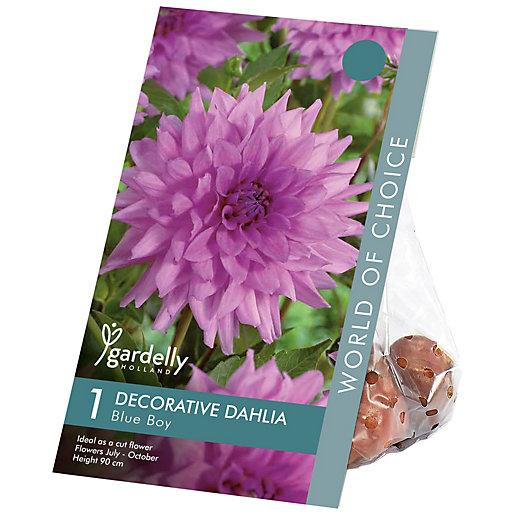 Dahlias decorative Blue Boy Flower Bulbs