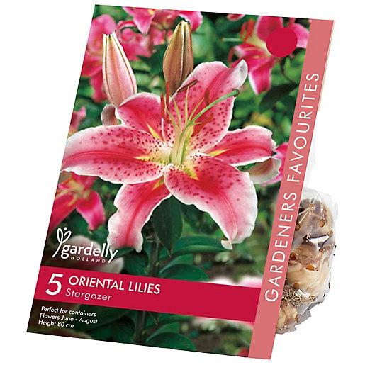 Lily Oriental Stargazer Flower Bulb