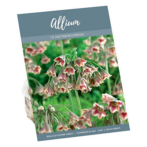 Allium Nectaroscodum Bulgaricum Scented Bulbs