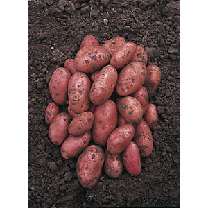 Unwins Rudolph Seed Potatoes - 2kg